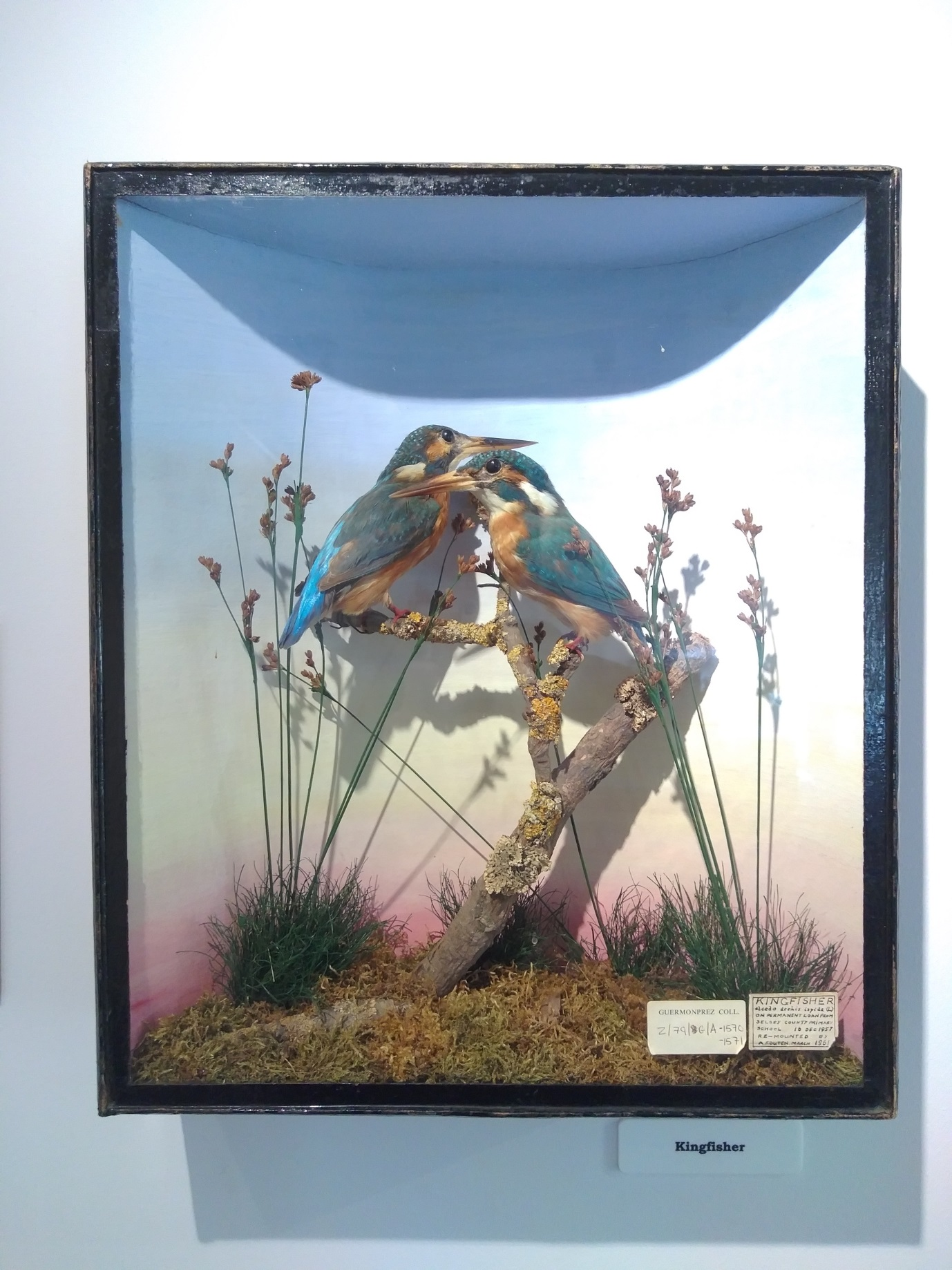 Beautiful and iridescent kingfisher display.